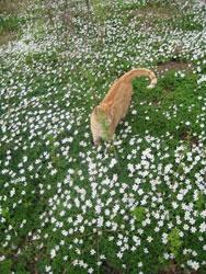 katten og hvitveisen