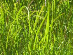 grønt og saftig gress
