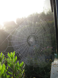 spindelvevet