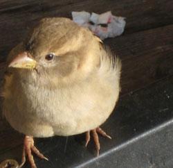 fuglen