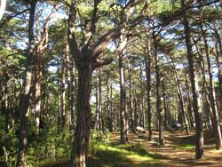 trærne